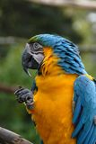 желтый цвет попыгая macaw 39 син Стоковые Изображения RF