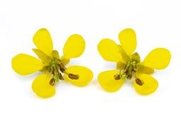 желтый цвет предпосылки изолированный цветком белый стоковая фотография