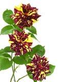 желтый цвет пурпуровых роз необыкновенный Стоковое Изображение RF