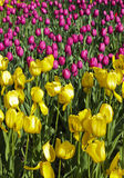 желтый цвет пурпуровых тюльпанов вертикальный Стоковое Изображение RF