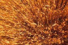 желтый цвет пшеницы взгляда сверху feeld Стоковое фото RF
