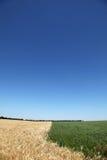 желтый цвет пшеницы зеленого цвета травы поля Стоковое Изображение