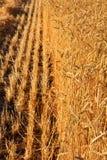желтый цвет пшеницы поля зрелый Стоковые Фотографии RF
