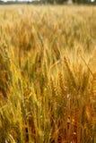 желтый цвет пшеницы поля хлопьев золотистый Стоковое фото RF