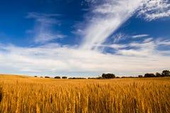 желтый цвет пшеницы поля Стоковая Фотография RF