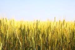 желтый цвет пшеницы поля Стоковое Изображение