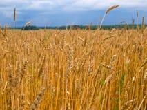 желтый цвет пшеницы поля Стоковая Фотография