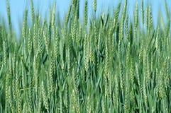 желтый цвет пшеницы предпосылки зеленый Стоковое фото RF