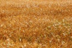 желтый цвет пшеницы ушей Стоковая Фотография