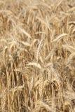 желтый цвет пшеницы Стоковое Фото