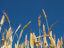 желтый цвет пшеницы Стоковые Фотографии RF