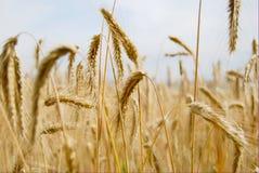 желтый цвет пшеницы hdr Стоковые Фотографии RF