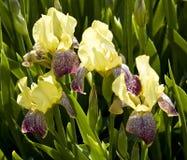 желтый цвет радужек 3 Стоковое фото RF