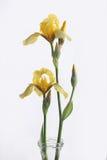 желтый цвет радужки Стоковые Фотографии RF