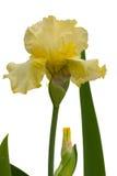 желтый цвет радужки Стоковая Фотография