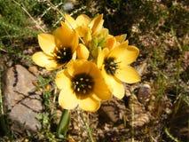 желтый цвет разнообразия ornithogalum Стоковые Изображения