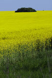 желтый цвет рапса ландшафта Стоковые Фото