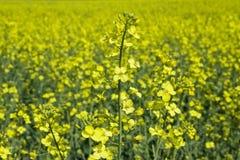 желтый цвет рапса лужка Стоковая Фотография