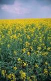 желтый цвет рапса поля Стоковое Изображение