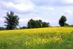 желтый цвет рапса поля Стоковые Изображения RF