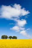 желтый цвет рапса поля Стоковые Фото