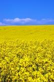 желтый цвет рапса цветка поля Стоковое фото RF