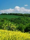 желтый цвет рапса цветков Стоковое фото RF