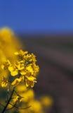 желтый цвет рапса цветков Стоковая Фотография RF