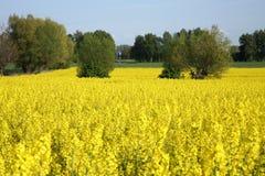 желтый цвет рапса Стоковое Изображение