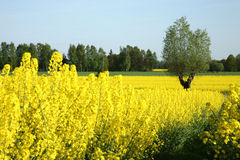 желтый цвет рапса Стоковое Фото