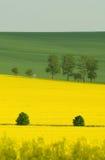 желтый цвет рапса Стоковые Изображения