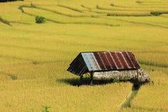 желтый цвет риса Стоковые Фото