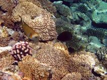 желтый цвет рифа рыб коралла Стоковое Фото