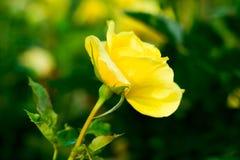 желтый цвет розы зеленого цвета поля Стоковые Фото