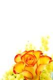 желтый цвет розы красного цвета расположения Стоковое Изображение RF