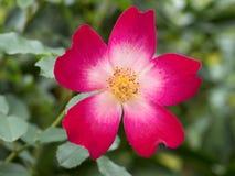 желтый цвет розы красного цвета цветка одиночный одичалый Стоковые Изображения
