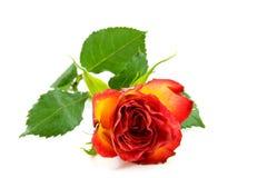 желтый цвет розы красного цвета Стоковое Изображение RF