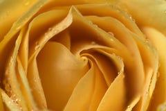 желтый цвет розы красотки Стоковая Фотография