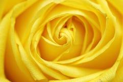 желтый цвет розы крупного плана Стоковые Изображения RF