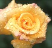 желтый цвет розы крупного плана Стоковые Изображения