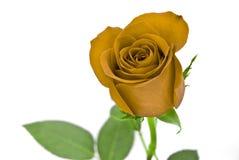 желтый цвет розы листьев зеленого цвета Стоковые Изображения RF