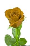 желтый цвет розы листьев зеленого цвета Стоковое фото RF