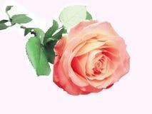 желтый цвет розы пинка сердца крупного плана Стоковое Изображение RF