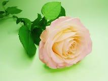 желтый цвет розы пинка цветка Стоковое Изображение RF