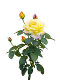 желтый цвет розы предпосылки белый стоковое фото rf
