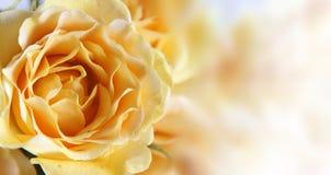 желтый цвет розы предпосылки Стоковые Фото