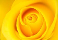 желтый цвет розы предпосылки Стоковое Изображение RF