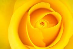 желтый цвет розы предпосылки Стоковое фото RF