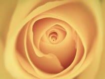 желтый цвет розы предпосылки Стоковая Фотография RF