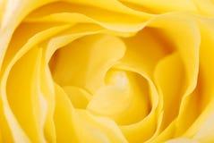 желтый цвет розы предпосылки Стоковая Фотография